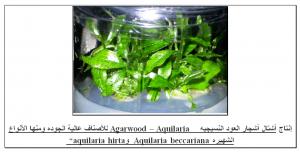أشتال أشجار العود النسيجيه -  Agarwood - Aquilaria