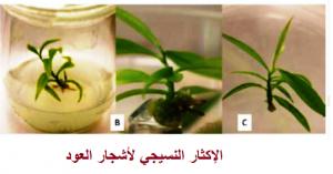إكثار وإنتاج أشجار العود في المختبر