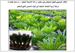 إكثار وإنتاج نخيل السيكاس في مختبر زراعة الأنسجه النباتيه