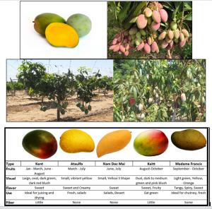 الإنتاج النسيجي لأصناف المانجو المتقزمه ومنها الصنف keitt mango