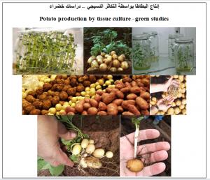 الإكثار النسيجي للبطاطا - دراسات خضراء