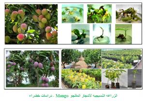 الزراعه النسيجيه لأشجار المانجو