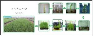 الزراعه النسيجيه لقصب السكر - دراسات خضراء