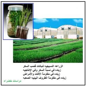 الزراعه النسيجيه لنباتات قصب السكر