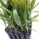 النخيل الثمري النسيجي - دراسات خضراء