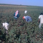 cotton-syria -1
