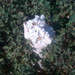 cotton-syria -3