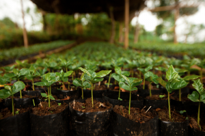 أشتال نباتات القهوة البن العربي