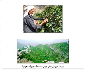 زراعة البن في جبال جازان بالمملكة العربية السعودية