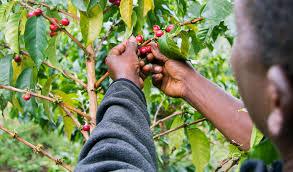 دولة السودان مستقبل واعد لزراعة القهوة العربيه