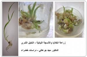 مراحل الزراعة النسيجية للنخيل الثمري - دكتور مجد جرعتلي
