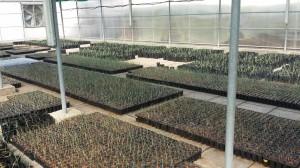 أعمار مختلفة من نباتات الثمام النسيجية