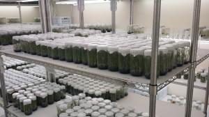 نباتات الثمام النسيجية في مختبر مشتل للزراعات النسيجية - دبي
