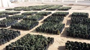 مرحلة التربية الخارجية لنباتات الثمام النسيجية