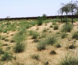 نباتات الثمام البرية في موقع بدولة الإمارات العربية المتحدة