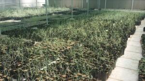 نباتات ثمام نسيجية قابلة للزراعة في الأرض الدائمة