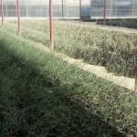 نباتات ثمام نسيجية