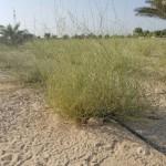 نباتات الثمام النسيجي
