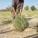 الإنتاج  العالي لنبات الثمام النسيجي كنبات علفي