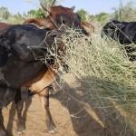 الأبقار تتغذى على نباتات الثمام النسيجي