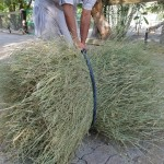 الإنتاج العالي والكثيف من حش نباتات الثمام النسيجي