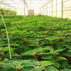 نباتات نسيجية في بيت التقسية التابع لأحد المختبرات التي تم تنفيذها من قبل دراسات خضراء