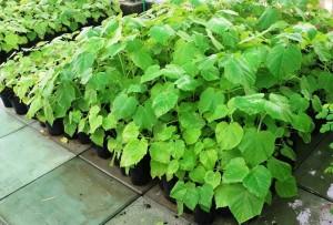 الزراعة النسيجية لأشجار الباولينيا
