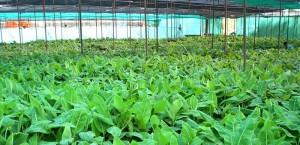 الإنتاج الهائل من النباتات النسيجية