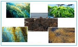 أعشاب وطحالب بحرية تدخل في صناعة الأعلاف الغير تقليدية