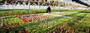 الإنتاج الكبير في المشاتل الزراعية الحديثة