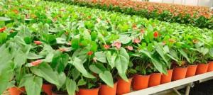 الإنتاج الكبير في المشاتل الزراعية التي تعتمد على مختبر زراعة الخلايا النباتية