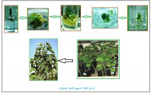 التكاثر النسيجي لأشجار الجاتروفا