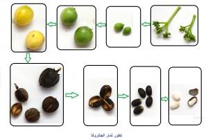 تطور ثمار الجاتروفا