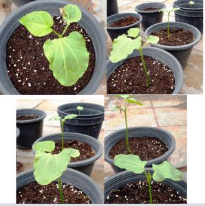 الزراعة البذرية لشجيرات الجاتروفا