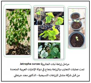 مراحل تطور الزراعة البذرية لشجيرات الجاتروفا
