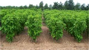 حقول مزروعة بشجيرات الجاتروفا