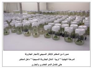 صورة من المختبر لمرحلة تربية الأشتال النسيجية لأشجار الجاتروفا