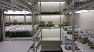 صورة من غرفة النمو التابعة لمختبر مشتل للزراعات النسيجية - دبي