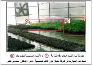 الفرق الكبير بالنمو والحجم بين أشتال الجاتروفا البذرية وأشتال الجاتروفا النسيجية