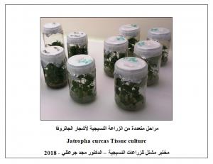مراحل متعددة من التكاثر النسيجي لأشجار الجاتروفا - مشتل للزراعات النسيجية - دبي
