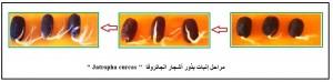 مراحل إنبات بذور الجاتروفا