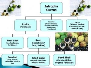 الفوائد المختلفة لأشجار الجاتروفا