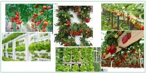 إنتاج المحاصيل الورقيه والثمريه عن طريق الزراعه المائيه
