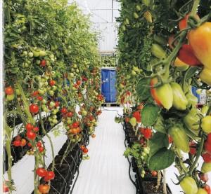 صوره من مشروع زراعه مائيه  في الإمارات إستخدم به نظام الأوتو بوت الحديث