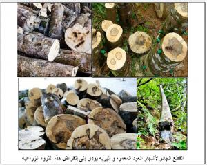 القطع الجائر لأشجار العود المعمره والبريه يؤدي إلى الإنقراض السريع لهذه الثروه الزراعيه