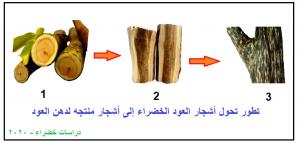 تطور أشجار العود الخضراء إلى أشجار منتجه لعطر العود