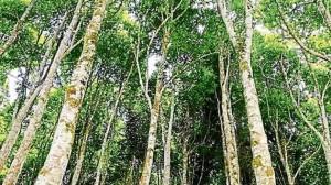 أشجار العود البريه