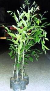 أشجار عود فتيه - young agar wood plant